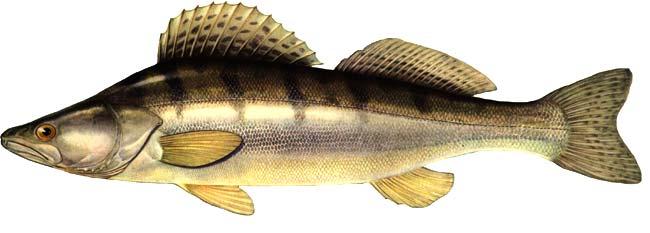 рыба. судак. фото