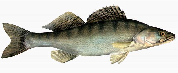 В Кубенском озере увеличились запасы судака