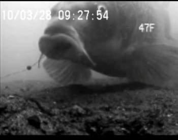 Ловля карпа видео из под воды