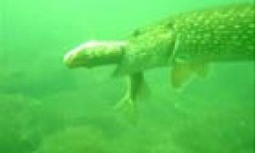 подводное видео о щуке